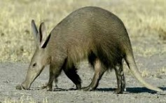 All About Aardvarks – The Earth Pigs