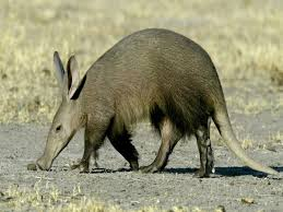 Aardvarks – The Earth Pigs