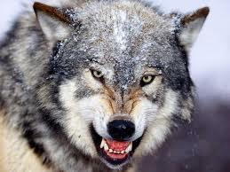 Alpha Wolf Growling Image - Science for Kids All About Wolves