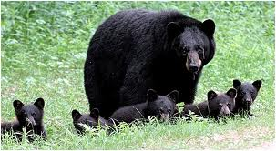 American Black Bear with her Cubs Image