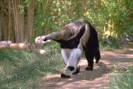 Anteater Walking Image - Science for Kids All About Anteaters