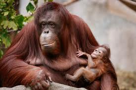 Orangutan Mother with her Baby Image