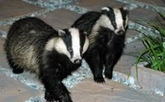 All About Badgers and Their Different Types