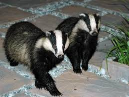 Different Types of Badgers