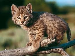 Baby Bobcat Image - Science for Kids All About Bobcats