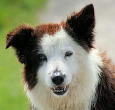 Close Up of a Brown Border Collie Sheep Dog Image