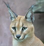 Caracal Up Close Image - Science for Kids All About Caracals