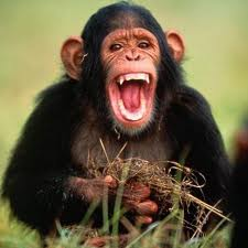 Chimpanzee Opening its Mouth Image