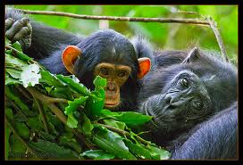 Chimpanzees in a Nest Image
