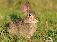 Cottontail Rabbit Image