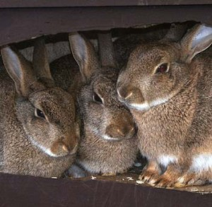 Cottontail Rabbits Burrowing Image