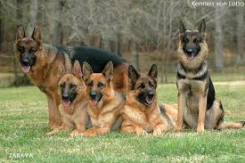 A Group of German Shepherds in the Field Image