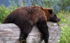 All About Brown Bears – The Grizzlies