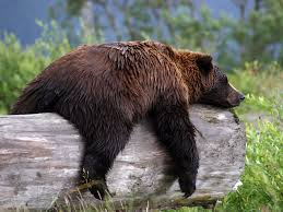 Brown Bear Resting on a Log Image - Science for Kids All About Brown Bears