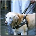 Guide and Service Dog on a Leash - Guide and Service Dogs Quiz