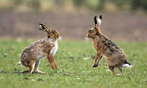 Hares Playing Image