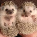Hedgehogs Quiz