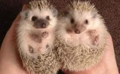 All About Hedgehogs – The Insects Eaters