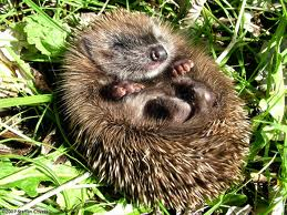 Fun Hedgehog Facts for Kids