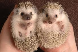 Baby Hedgehogs Image - Science for Kids All About Hedgehogs