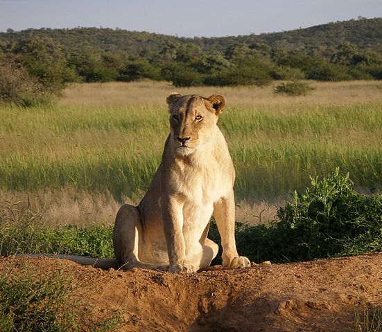 Female lion (lioness)