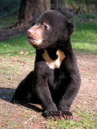Malayan Sun Bear Image - Science for Kids All About Bears