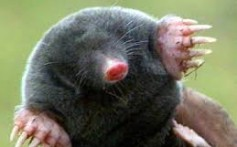 All About Moles – The Hole and Tunnel Makers
