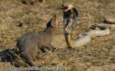 All About Mongooses – The Snakes Eaters