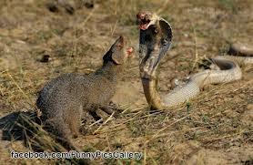 Mongoose Fighting a Cobra Image