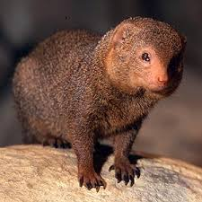 Mongoose Image - Science for Kids All About Mongooses