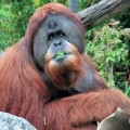 orangutan-eating image