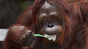 Orangutan Brushing its Teeth Image