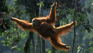 Orangutan Swinging from Tree to Tree Image