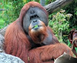 Orangutan Eating Image - Science for Kids All About Orangutans