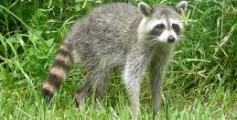 All About Raccoons – The Expert Thieves