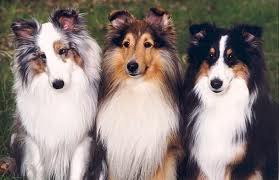Different Colored Shelties Sheep Dog Image