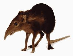 Brown Shrew Image - Science for Kids All About Shrews