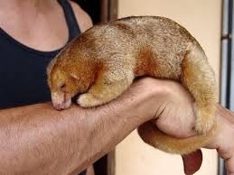 Brown Silky Anteater Image