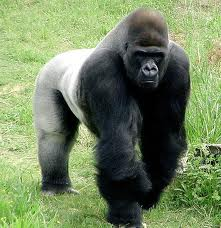 Gorillas – The Heaviest Primates