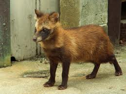 The Raccoon Dog Image - Science for Kids All About the Dog Family