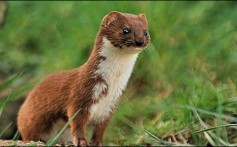 All About Weasels – The Perfect Hunting Machines