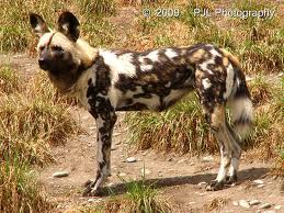 african-hunting-dog image