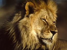 All about lions - An African lion image