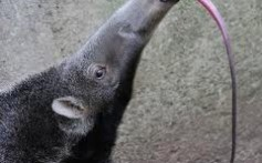 All About Anteaters – A Silky Giant