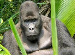 Apes – Larger and Intelligent Animals