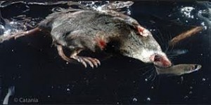 Aquatic Shrew Image
