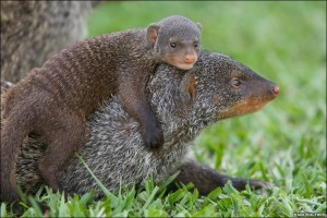 Baby Mongoose Riding its Mother's Back Image