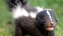 All About Skunks and Their Smelly Spray