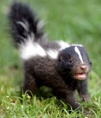 Skunks and Their Smelly Spray