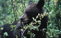 All About Black Bears – Small, Timid and Wild